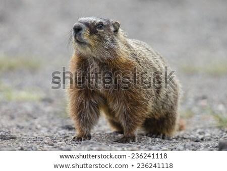 Wild Animal Marmot Marmota Yellowstone National Park Stock photo © cboswell