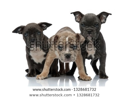 3 American bully dogs standing together Stock photo © feedough