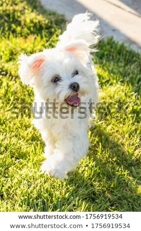 Adorable Maltese Puppy Playing In The Yard Stock photo © feverpitch
