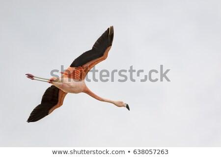 Flamingo pássaro rosa lagoa natureza laranja Foto stock © dmitry_rukhlenko