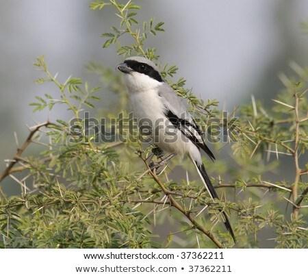 Southern Grey Shrike (Lanius Meridionalis) Stock photo © davemontreuil