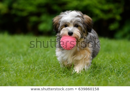 puppy playing ball stock photo © willeecole