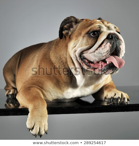 bulldog relaxing and having fun in a gray studio stock photo © vauvau