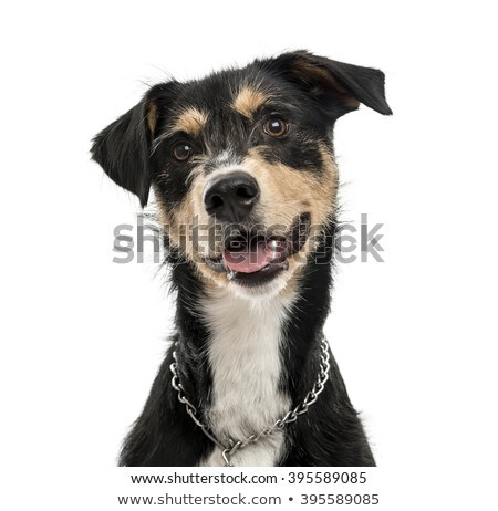 mixed breed looking into the camera with tongue out stock photo © vauvau