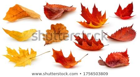 Stock fotó: őszi · levelek · izolált · fehér · keret · narancs · ősz