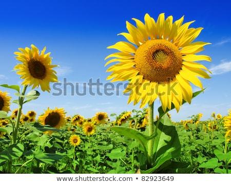 Napraforgó kék fű nap kert nyár Stock fotó © visdia