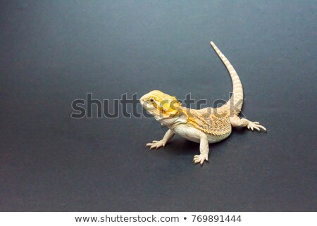 one agama bearded on the white background Stock photo © pavel_bayshev