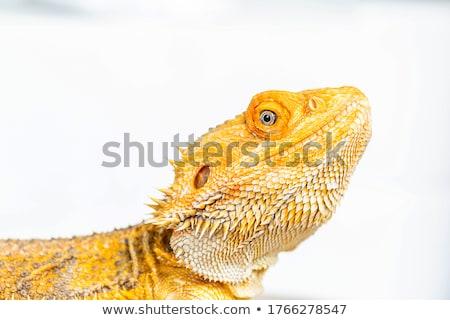 Сток-фото: Bearded Dragon Reptile