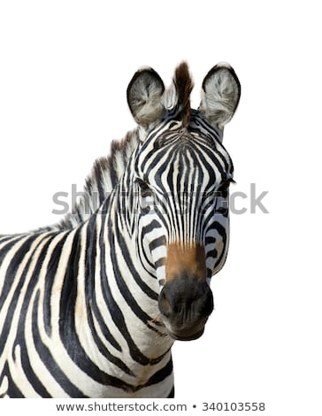 Zebra portrait in game reserve Stock photo © jacojvr