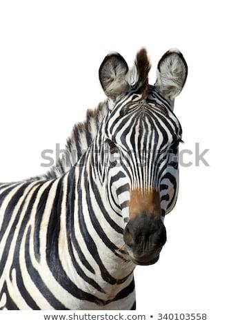 Zebra portre oyun rezerv güzel Stok fotoğraf © jacojvr