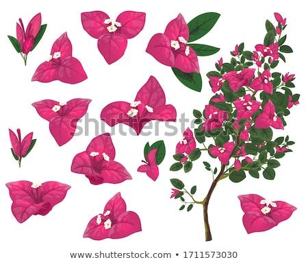 növény · virág · rózsa · természet · kert · nyár - stock fotó © Armisael