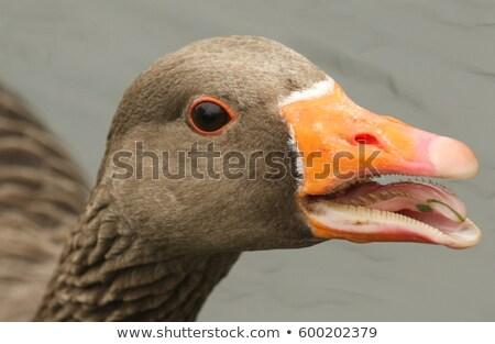 goose beak open stock photo © elenarts