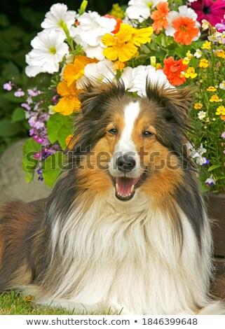 üç · renkli · köpek · güzel · yalıtılmış · beyaz · bo - stok fotoğraf © ximinez