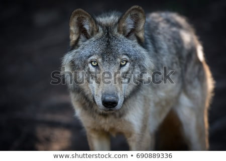 Grey Wolf Stock photo © scooperdigital