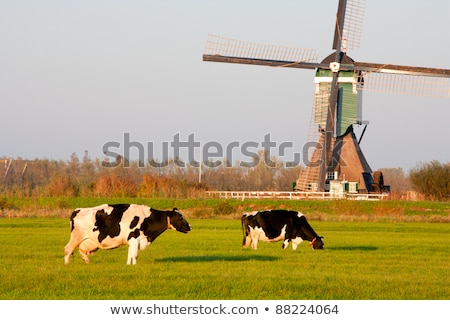 cows, Groot-Ammers, Netherlands Stock photo © phbcz
