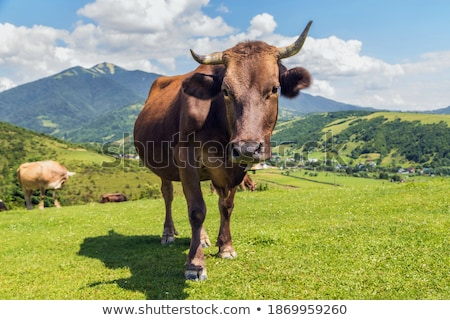 Carpathian Cows Stock photo © Rybakov