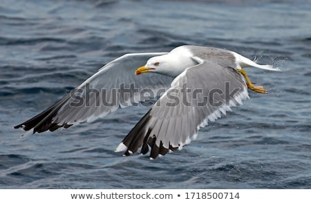 soaring seagulls stock photo © mikecharles