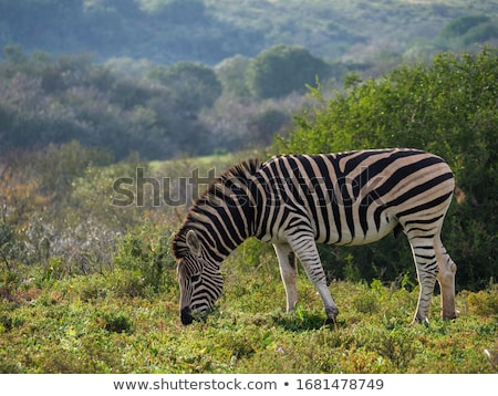 zebra grazing stock photo © arenacreative