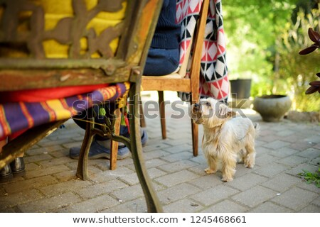 cute little yorkie begging stock photo © fantasticrabbit