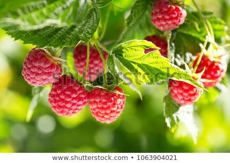 Framboesa framboesas crescente orgânico Foto stock © ryhor
