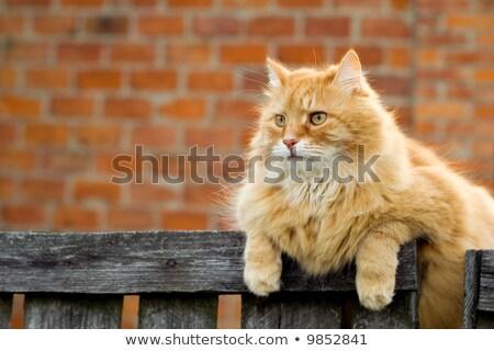 Kırmızı kedi oturma çit bakıyor kamera Stok fotoğraf © ryhor