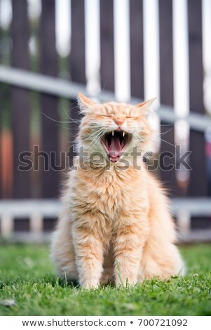 Red Cat Sitting On The Fence And Roaring Or Yawning Stock photo © ryhor