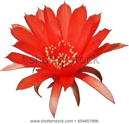 赤 サボテン 花 緑 工場 ストックフォト © stocker