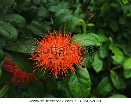Combretum erythrophyllum Bush Willow Stock photo © smuay