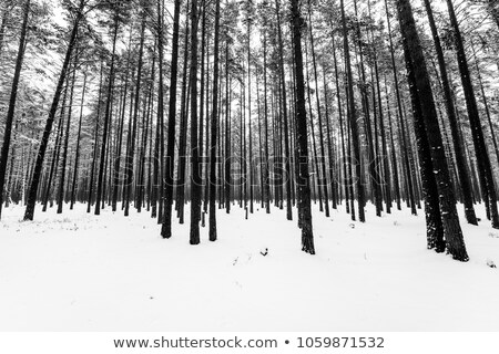 flatland with snow in winter with trees Stock photo © meinzahn