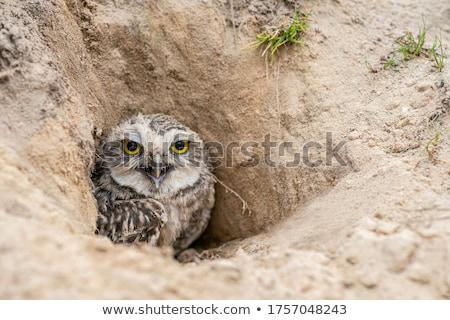 Uil vogel buit grond Stockfoto © devon