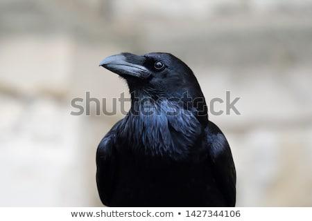 カラス ビッグ 自然 1泊 羽毛 黒 ストックフォト © nialat