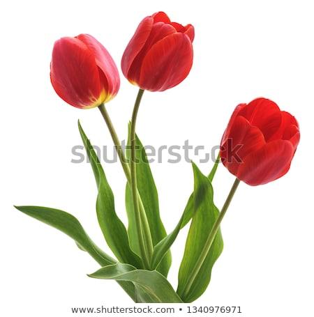Stockfoto: Rood · tulpen · veld · blauwe · hemel · zonneschijn · bloem