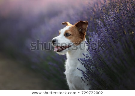 Black and White Dog in a Field stock photo © rhamm