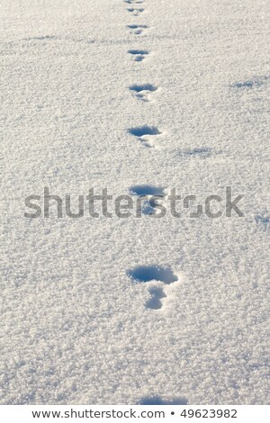 Snowshoe Hare Tracks In Snow Stock photo © pancaketom