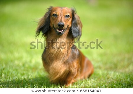 the portrait of dachshund standard long haired red stock photo © capturelight