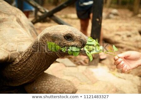 Galapagos giant tortoise eating Stock photo © michaklootwijk