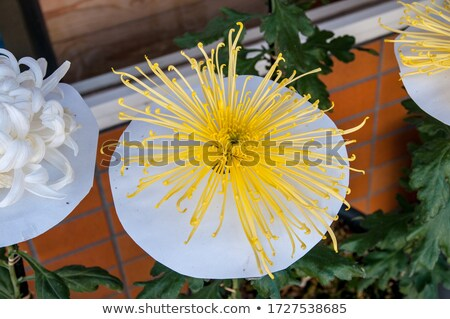 Foto stock: Primer · plano · hermosa · amarillo · crisantemo · flores · jardín
