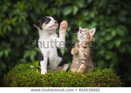 Stockfoto: Puppy · kat · spelen · bulldog · buiten