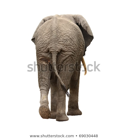 African Elephant Behinds Stock photo © fouroaks