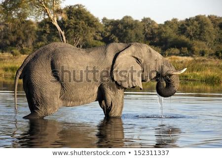 african elephants in lake stock photo © byrdyak