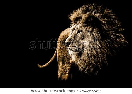 lion portrait color image stock photo © backyard-photography