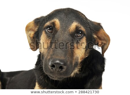 very cute mixed breed dog portrait in a white photo studio stock photo © vauvau