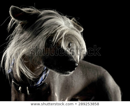 very cute chinese crested dog  portrait in black background Stock photo © vauvau