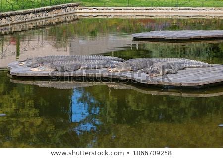 Stock fotó: Nagy · aligátor · nap · víz · dzsungel · park