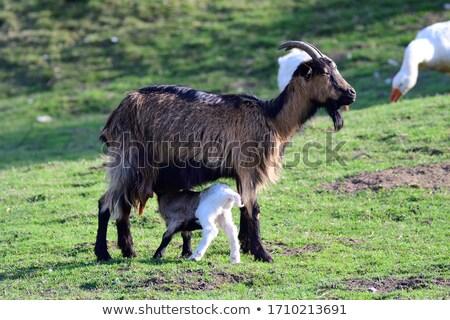 Pinzgauer goats Stock photo © kb-photodesign