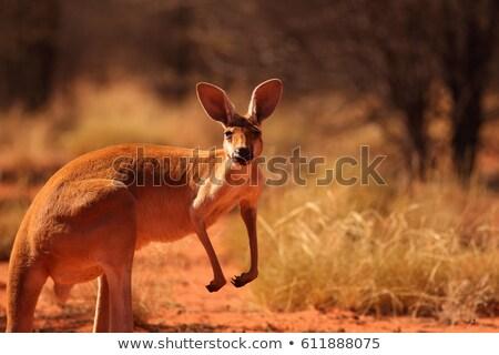 Kenguru sivatag illusztráció naplemente vicces állat Stock fotó © adrenalina