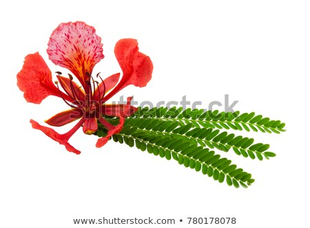 Gulmohar Flowers Stock photo © pazham