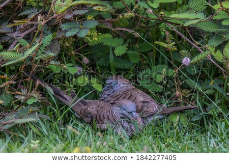 Uykulu güvercin zebra ölü şube ev Stok fotoğraf © azamshah72