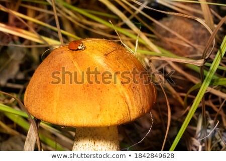 mushroom red Leccinum grows in grass Stock photo © romvo