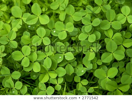 Green shamrock clover leaf with dew drops. Lucky trefoil symbol of St. Patrick's Day Stock photo © orensila